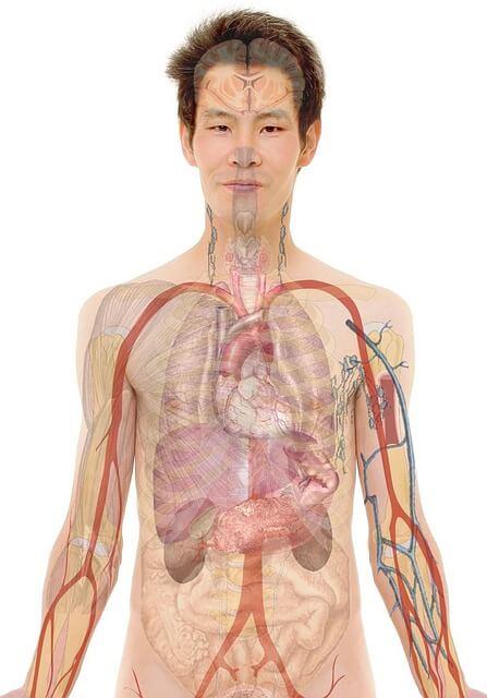 anatomy-254129_640